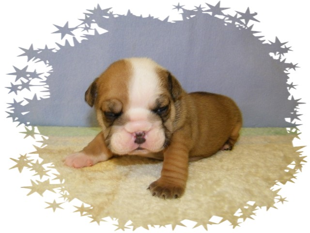 This is Gabriel!! He is red with white markings! He is Champion Grand